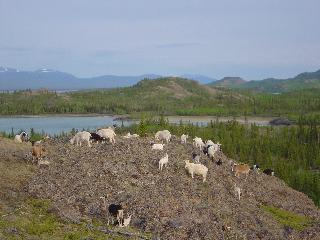 Goats on the hill at Lake Laberge